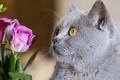 Картинка кошка, цветы, британец, Британская короткошёрстная, морда, розы, кот