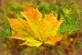 Картинка клен, хвоя, лист, ветка, осень
