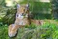 Картинка взгляд, рысь, хищник, отдых, дикая кошка, лапы