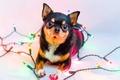 Картинка огни, собака, гирлянда, Chihuahua