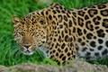 Картинка леопард, стоит, морда, смотрит, leopard
