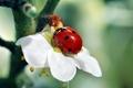 Картинка красный, ветка, зеленый, белый, божья коровка, цветок, дерево, насекомое