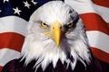 Картинка флаг, америка, сша, птица, орел
