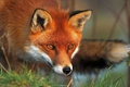 Картинка Fox, Forest, Hunting, Red