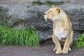 Картинка кошка, трава, взгляд, львица, ©Tambako The Jaguar