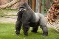 Картинка самец, примат, обезьяна, горилла