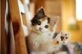 Картинка взгляд, мордочка, котёнок, лапка