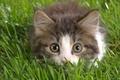Картинка Котенок, трава, взгляд, глаза