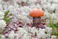 Картинка макро, гриб, природа, трава, подосиновик, мох