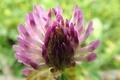 Картинка цветок, размытость, Клевер