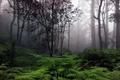 Картинка туман, деревья, папоротник, лес
