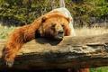 Картинка медведь, лес, природа