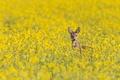 Картинка field of gold, wildlife, deer