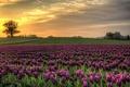Картинка поле, природа, Дания, небо, тюльпаны, закат