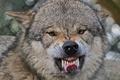 Картинка клыки, оскал, зубы, волк, морда, язык
