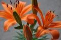 Картинка макро, лепестки, лилии, растение