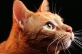 Картинка взгляд, морда, рыжий, кот