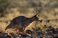 Картинка Caracal, добыча, степная рысь, хищник, охотник, каракал