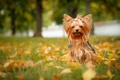 Картинка осень, листья, собака, йорк, Йоркширский терьер