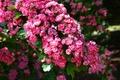 Картинка цветы, цветение, розовые, ветки, Вишня, весна, листья