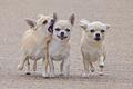 Картинка собаки, прогулка, друзья, трое, товарищи, Чихуахуа