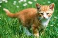 Картинка котенок, Трава, рыжий