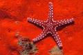 Картинка Красная, Морская, Звезда