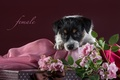 Картинка джек-рассел-терьер, щенок, розы, ткань