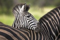 Картинка зебра, африка, савана