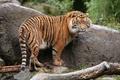 Картинка тигр, камень, хищник