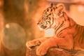 Картинка портрет, котёнок, тигрёнок