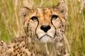 Картинка большая кошка, хищник, морда, Гепард
