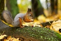 Картинка орехи, белка, лес