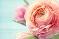 Картинка фото, Цветы, Роза, Розовый