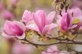 Картинка макро, ветка, магнолия, весна, розовый