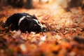 Картинка собака, взгляд, осень, друг