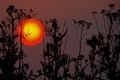 Картинка солнце, закат, растения, силуэт