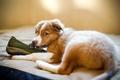 Картинка собака, щенок, ботинок