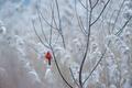 Картинка winter, wildlife, freeze, bird, snowing, cardinal, red, frost
