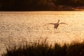 Картинка закат, река, трава, блики, вечер, рябь, птица, вода, полет, настроение, лебедь, водоем, берег, природа, сияние