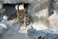 Картинка кошка, вальер, хищник, тигровый, Тигр