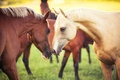 Картинка пара, животные, Лошади, природа, трава, кони