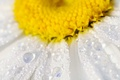 Картинка макро, вода, лепестки, ромашка, цветок, капли