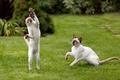 Картинка коты, играют, мышь, пара, когти, зелень, трава, лапы, газон