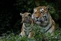 Картинка тигры, тигрица, тигрёнок