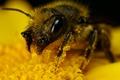 Картинка Шмель, пыльца, желтый