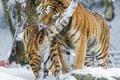 Картинка умывание, большая кошка, зима, снег, амурский тигр