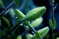 Картинка роса, красивое, цветы, дождь