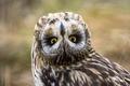 Картинка взгляд, сова, птица