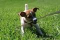Картинка собака, животное, держит палку, прогулка, джек рассел щенок, трава, ситуации